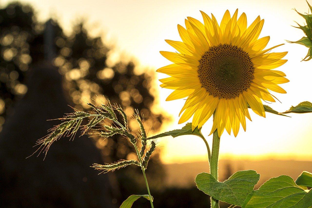 vrolijke zonnebloem